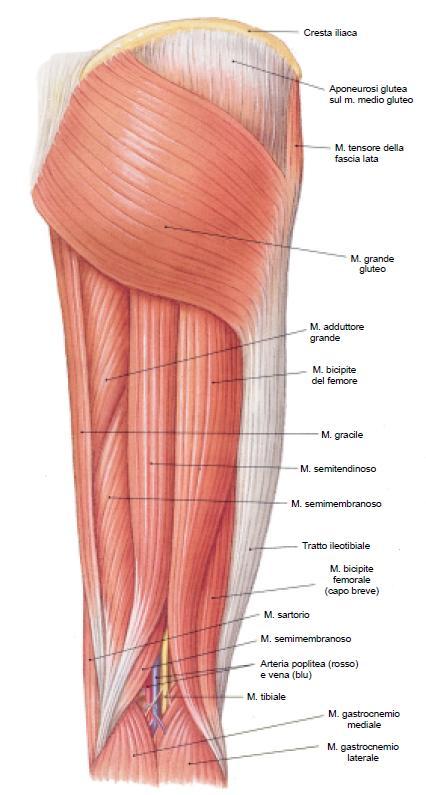 Muscoli posteriori della coscia (ischio crurali)