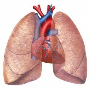 Polmoni cuore