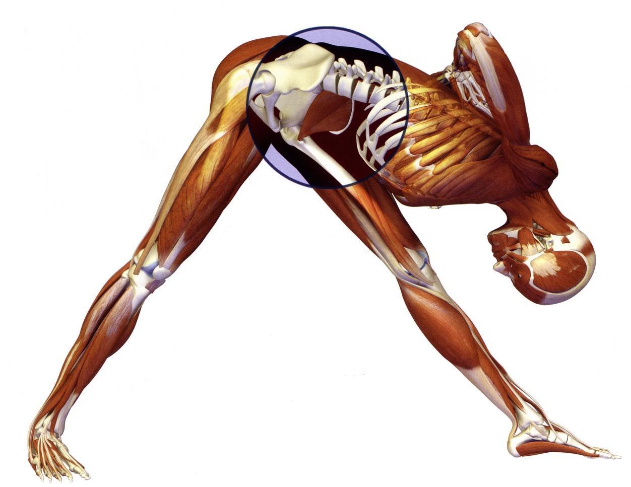 Muscolo iliaco