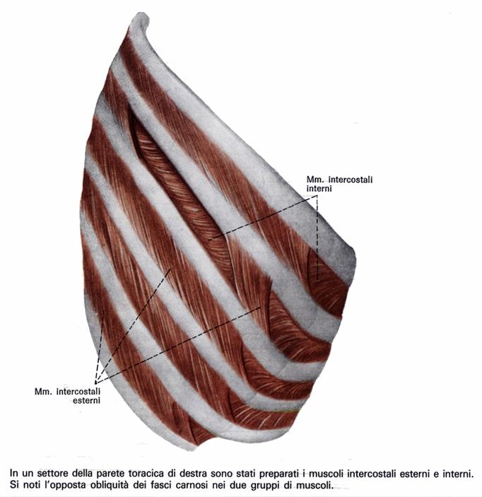 Intercostali esterni